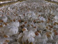 goldman-isnt-too-chicken-to-invest-in-oddball-foreign-assets-in-2008-goldman-bought-ten-poultry-.jpg