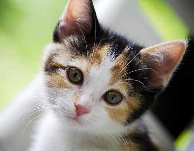 Calico_Kitten_10.jpg